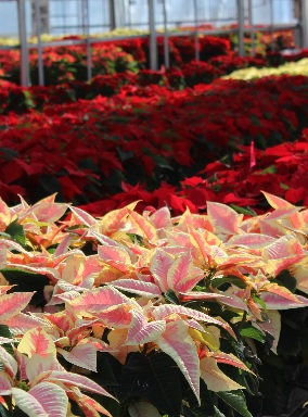 red pink white poinsettia